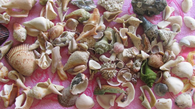 Shells from Siesta Key, Florida
